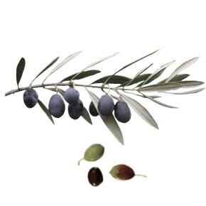 variete-huile-olive-courbeil-curivell