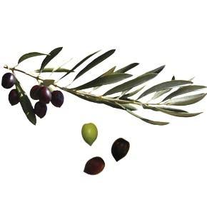 variete-huile-olive-olivere-ouana