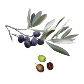 variete-huile-olive-renouneil-rodonella