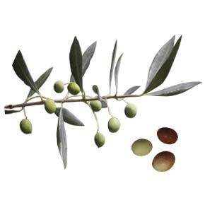 variete-huile-olive-verdale-verdal
